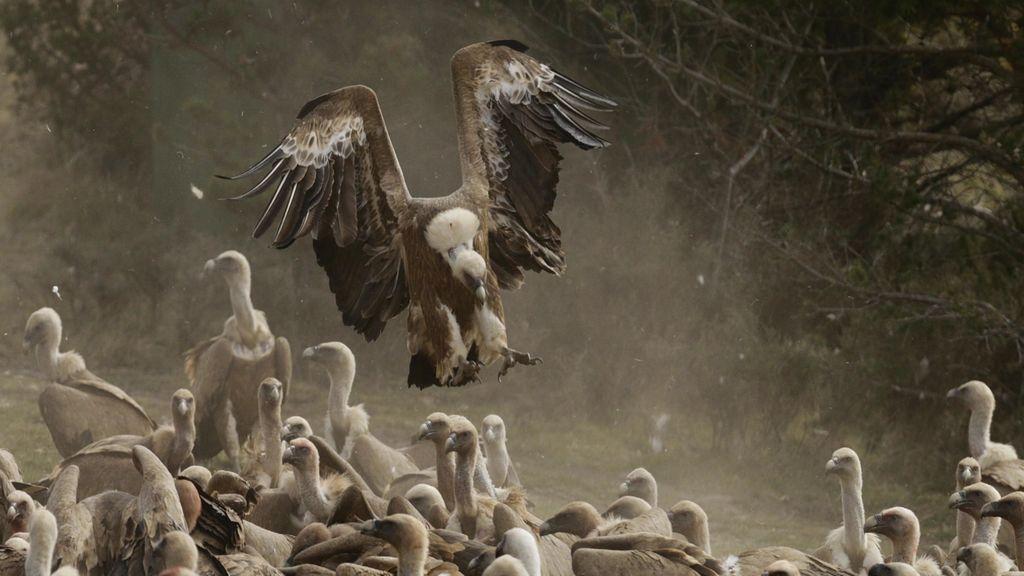 Unai y su familia observan cómo un grupo de cuervos y quebrantahuesos se alimentan... ¡Wow!