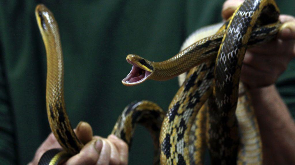 Encuentra una serpiente de 3 metros bajo la cama de su hijo
