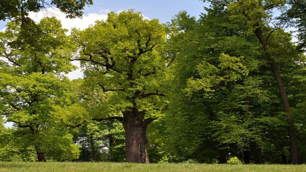 ¡Se busca! Llega el certameneuropeo de árboles singulares y España quiere participar