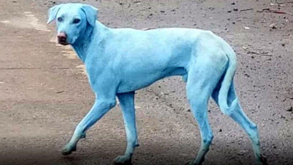 El misterio de los perros azules en India:  Una empresa que lanzaba productos químicos al río de un pueblo