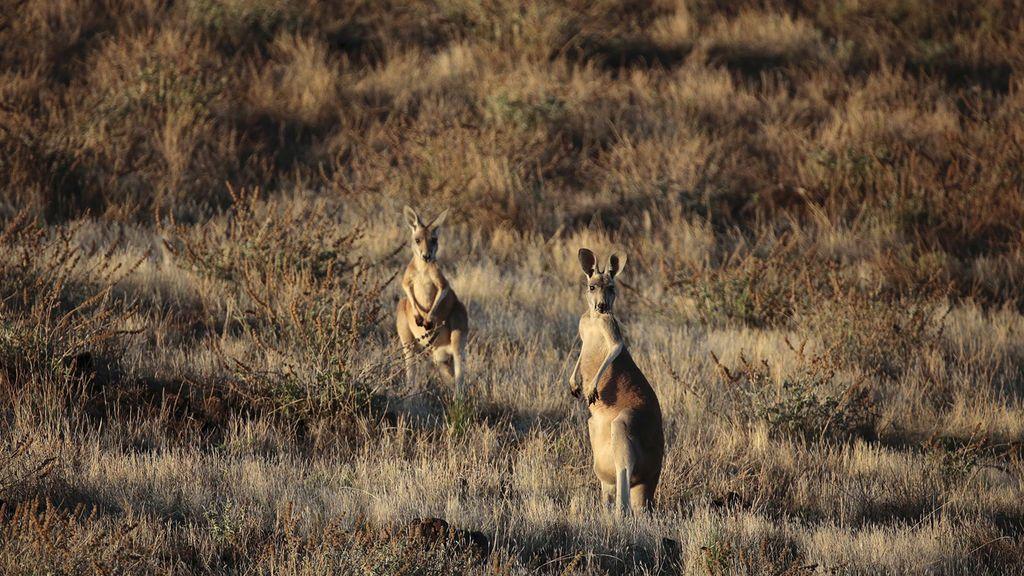 AUSTRALIA. Ualabí de las rocas de patas amarillas