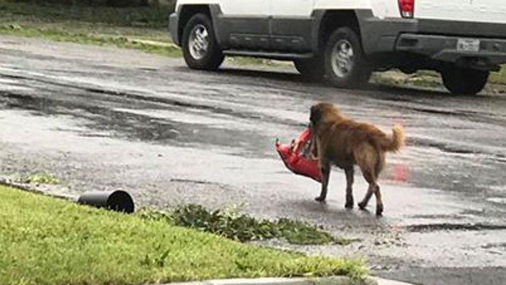 Mientras unos son desalojados, otros huyen con comida: Otis el perro más listo de Texas
