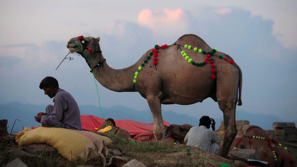 Un mercader espera a vender su camello a los clientes en un mercado ambulante