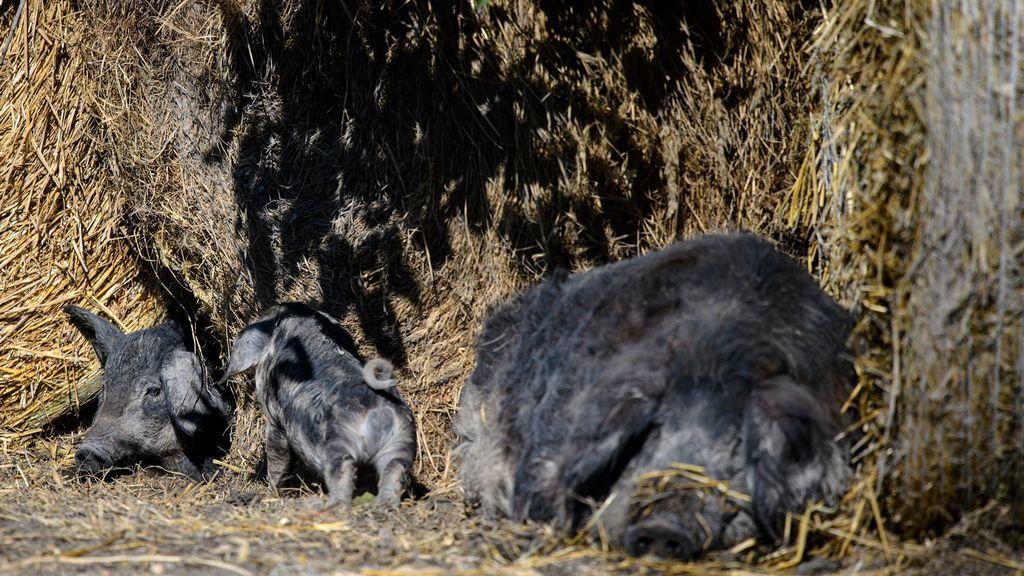Cerdos mangalica en Podersdorf