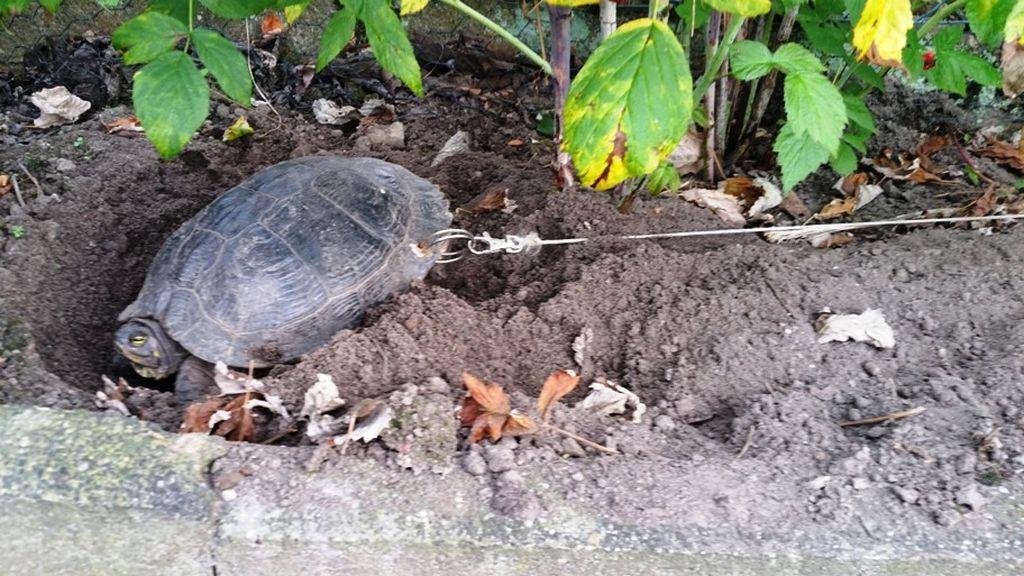 Taladran el caparazón de su tortuga para que no se escape durante sus vacaciones