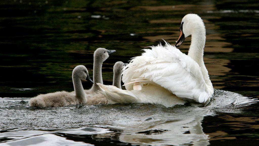 Una niña pide a Isabel II permiso para tener un cisne como mascota y la reina le constesta