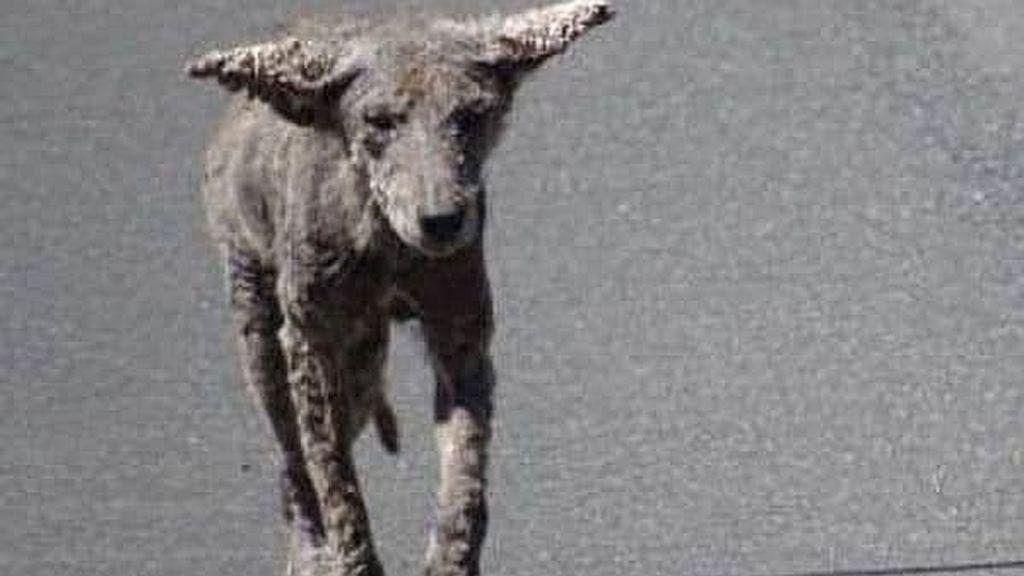¿Perros zombis en Estados Unidos? Te contamos lo que son realemente