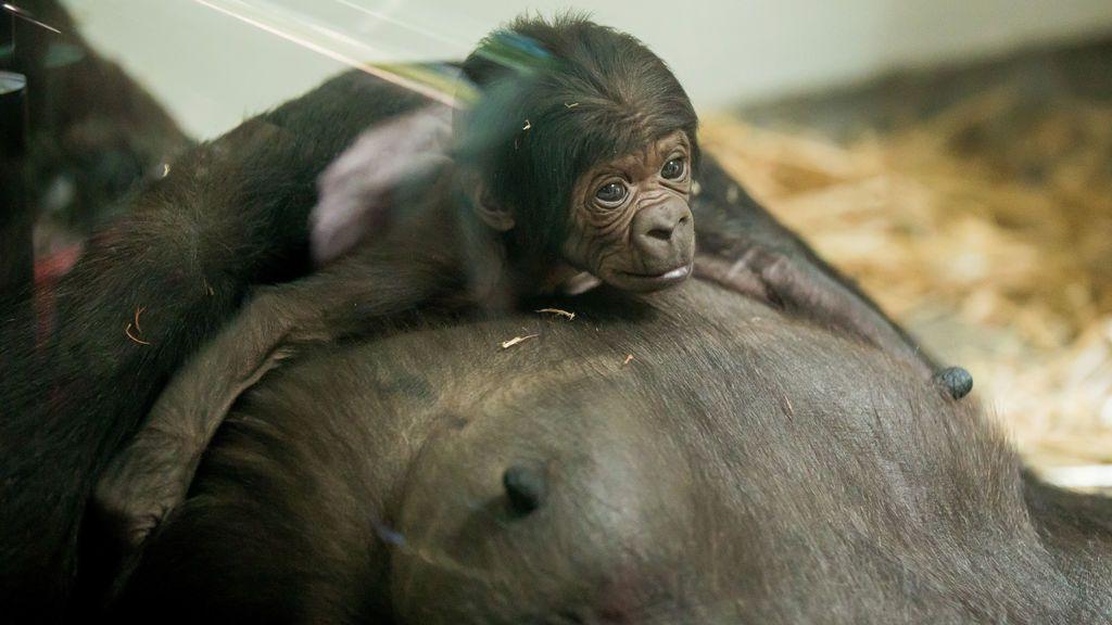 Nace una cría de gorila en el zoo de Taronga de Sydney