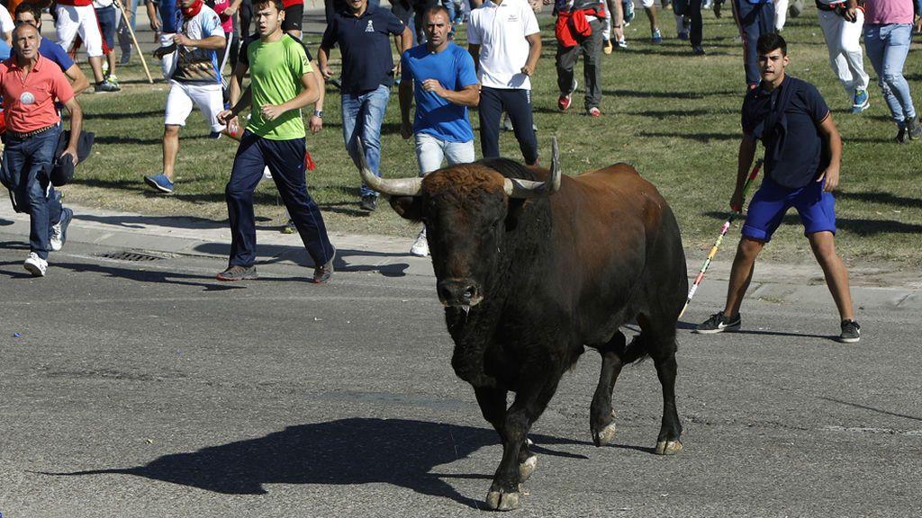 Tordesillas celebra en calma el Toro de la Vega sin la muerte en público del astado