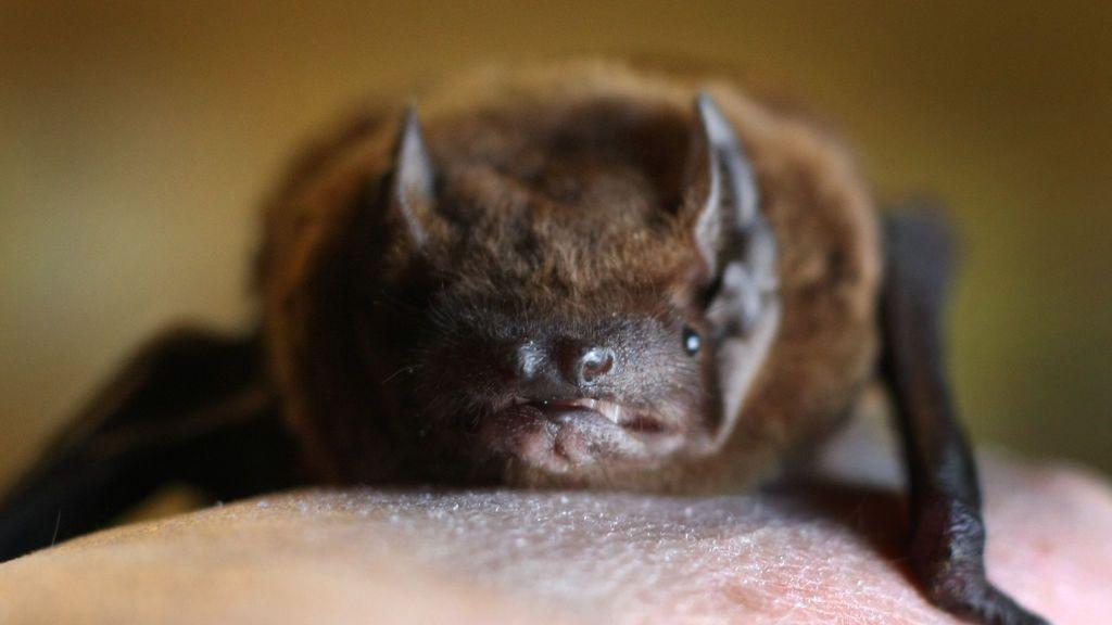 La Lista Roja anuncia la extinción del murciélago de la Isla de Navidad