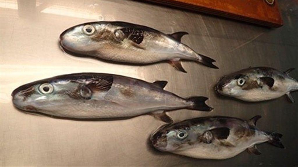 ¡Peligro! Cada vez más peces globo tóxicos en Canarias