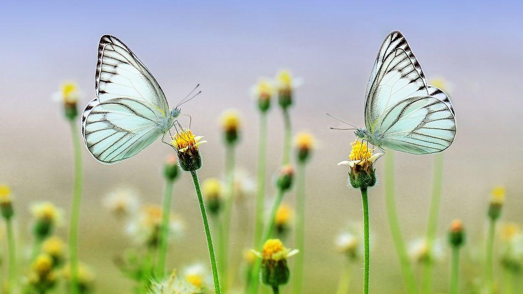 Nuevo descubrimiento: ¿qué hace que una mariposa tenga un color u otro?
