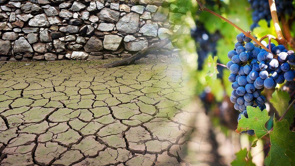 El vino del año que viene, amenazado por la sequía