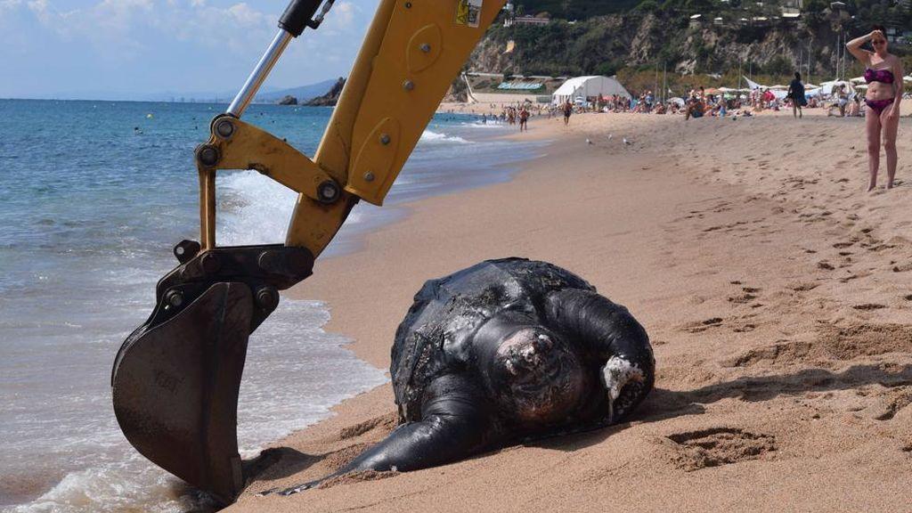 Una tortuga laúd de dos metros y 700 kilos  llega a la costa brava