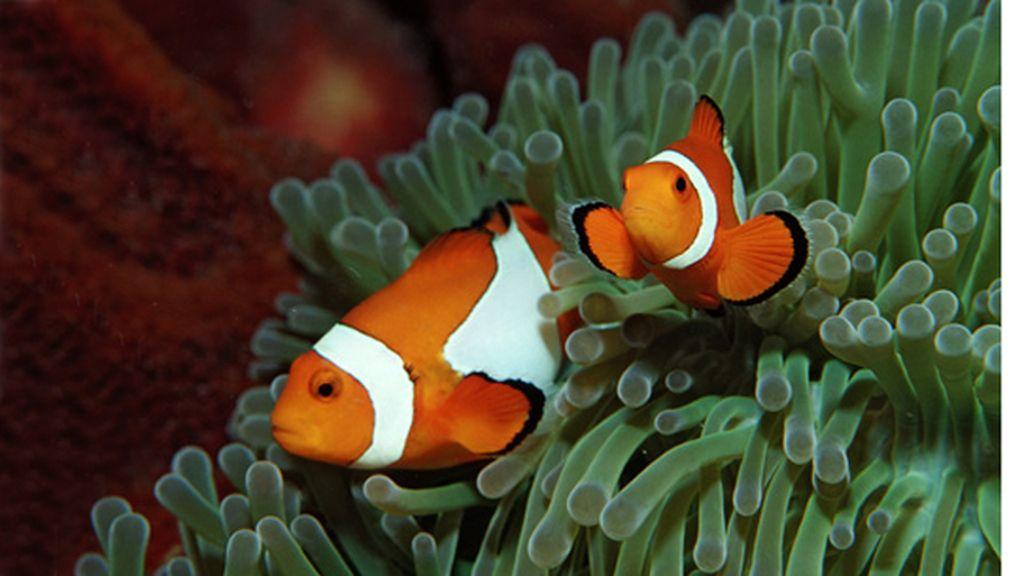 El pez payaso entre las anémonas