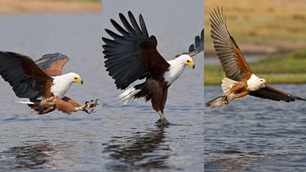 El águila africana