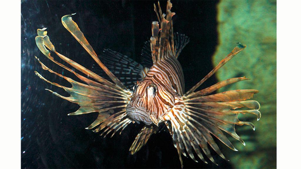 El pez león, invasor del Caribe