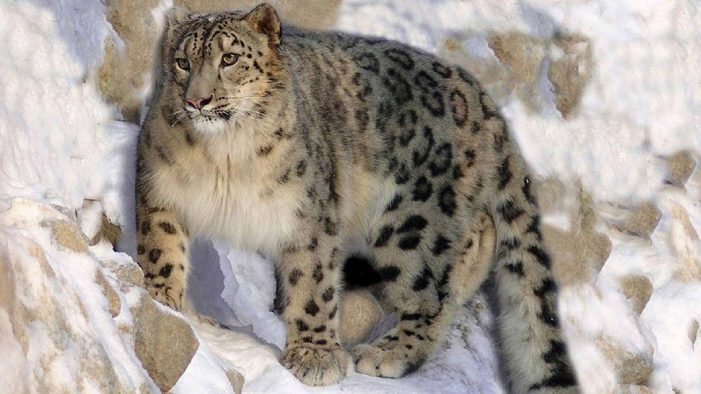 El leopardo de nieve y otras especies que se han salvado de estar en peligro de extinción