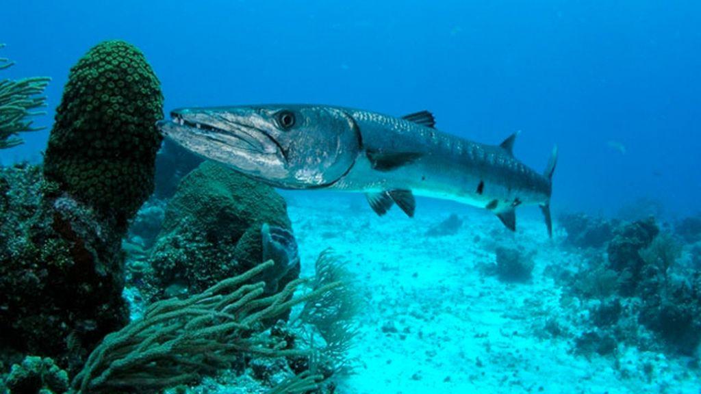 La barracuda, el terror de los mares