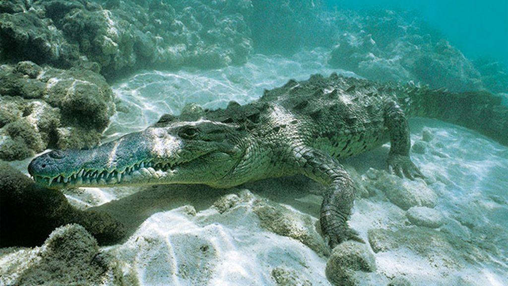 El caimán de la costa
