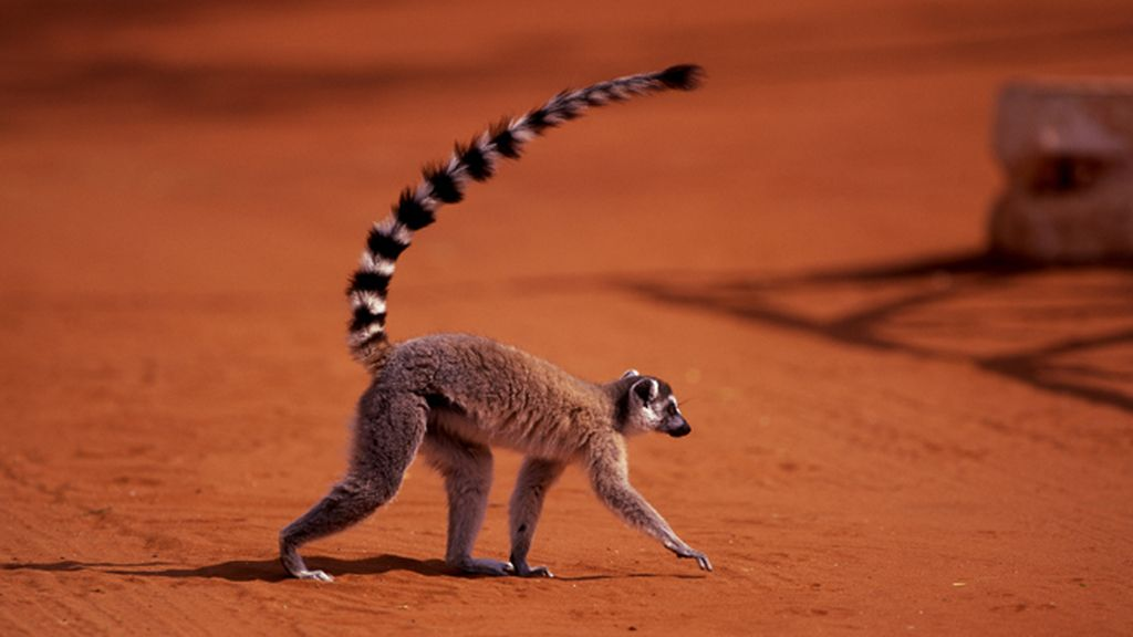 El lemur