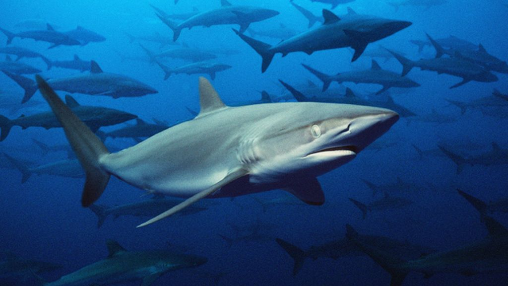 El tiburón gris de arrecife