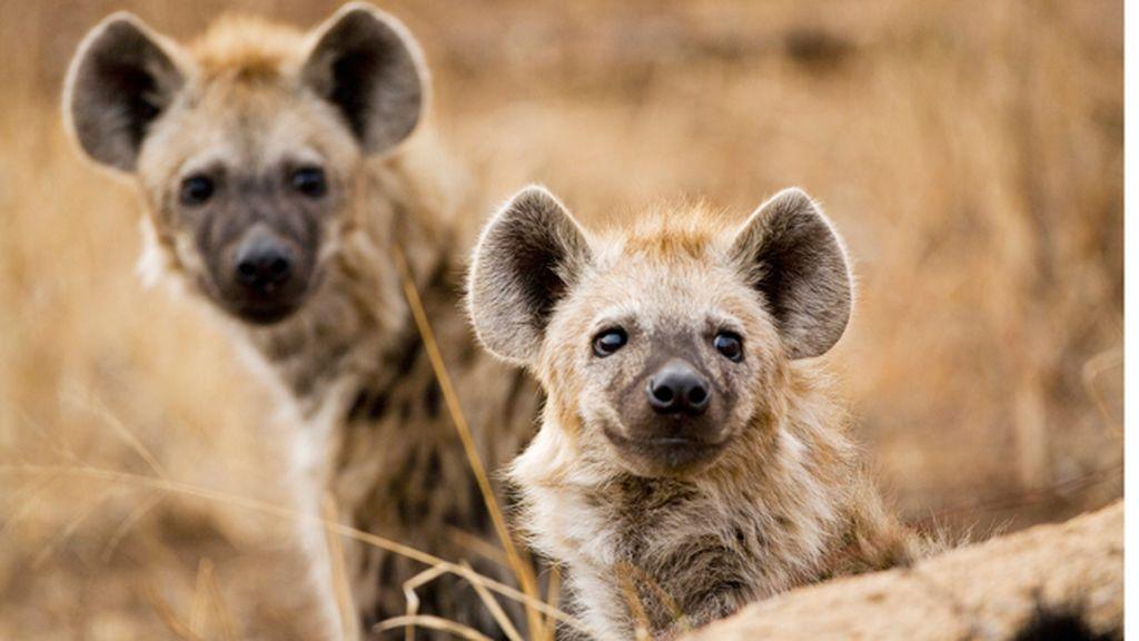 La hiena
