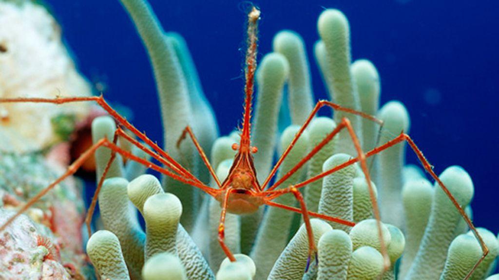 El cangrejo araña, una especie ermitaña