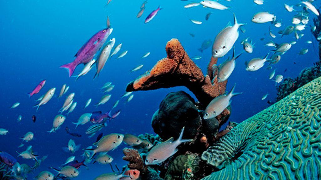 Bancos de peces nadan entre los corales