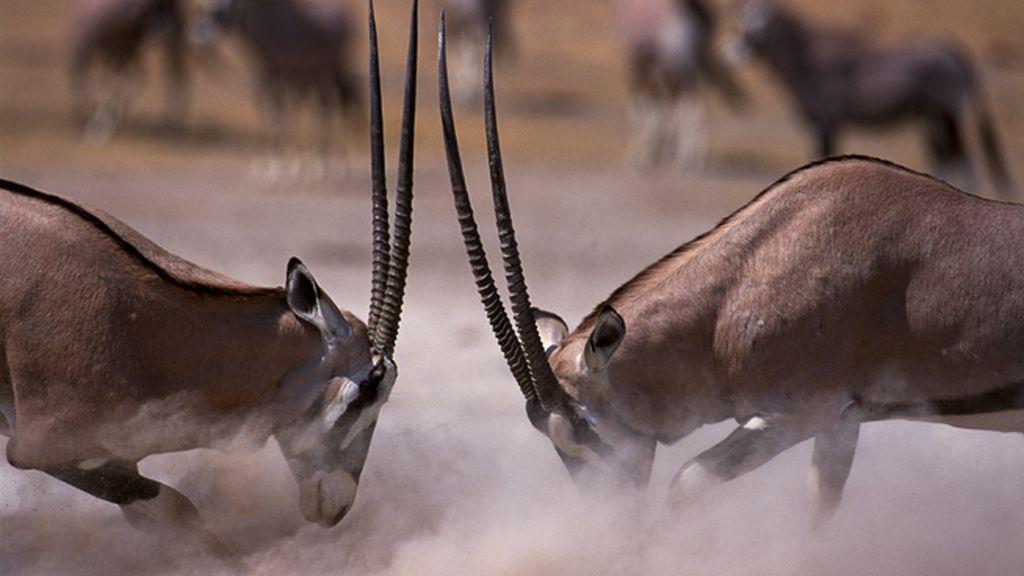 El oryx