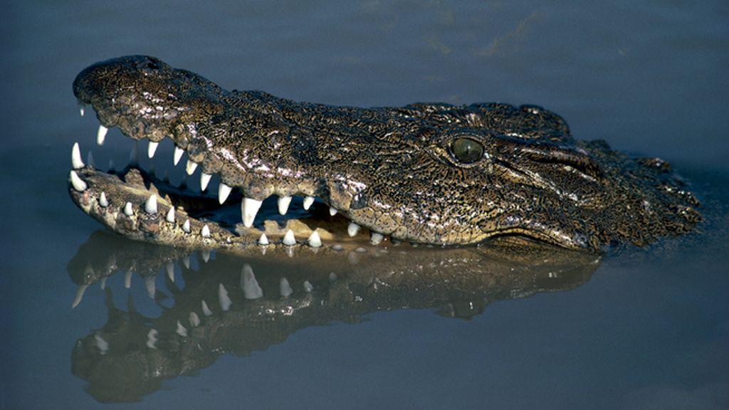 El cocodrilo del Nilo