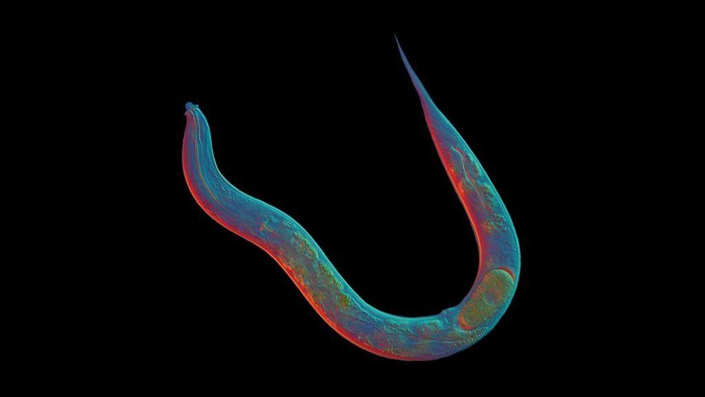 Así logró un gusano asexual vivir 18 millones de años