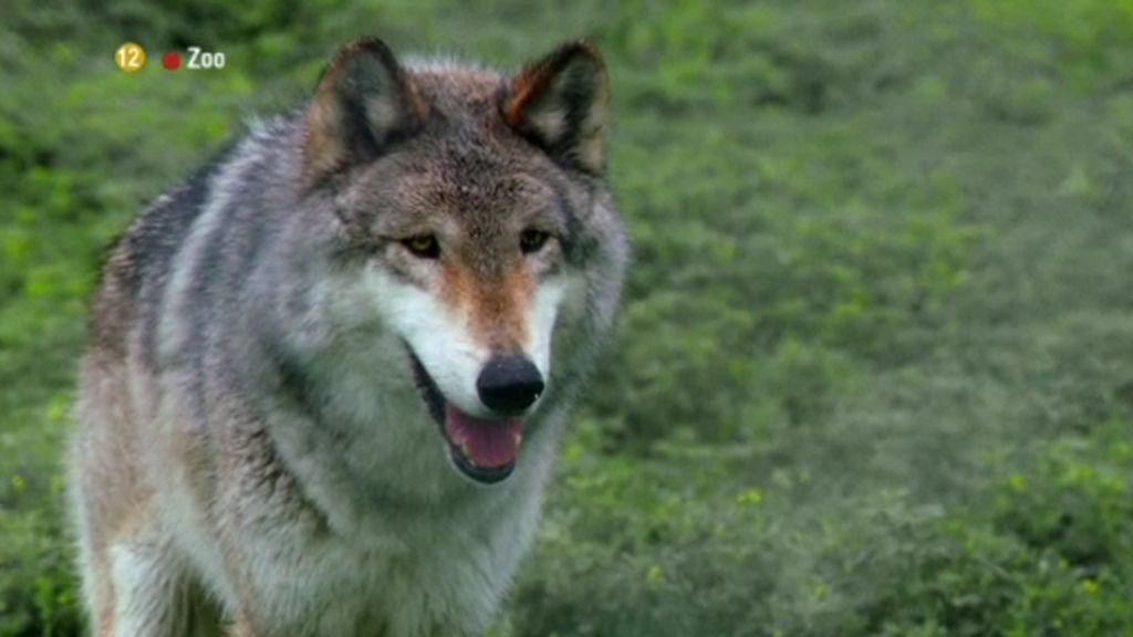 El ataque bíblico de los lobos, en 'Zoo'