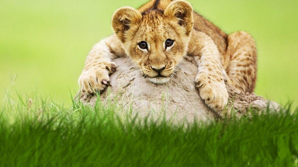 Semana felina en Nat Geo Wild
