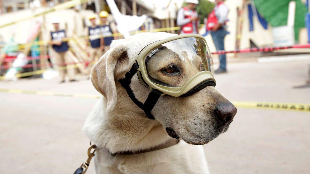 El perro de rescate Frida en una jornada de trabajo tras el terremoto de México