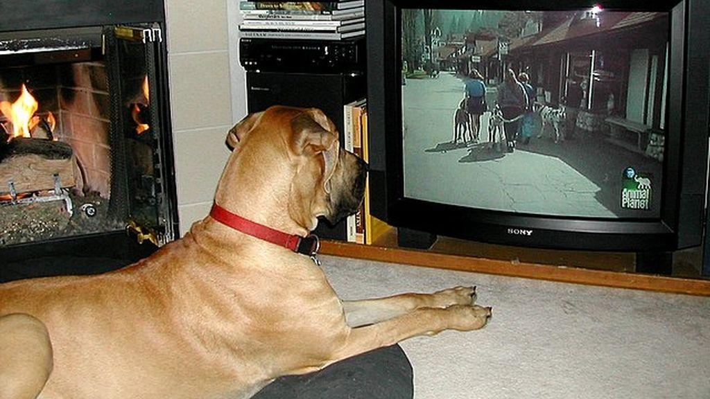 Perro mirando la televisión