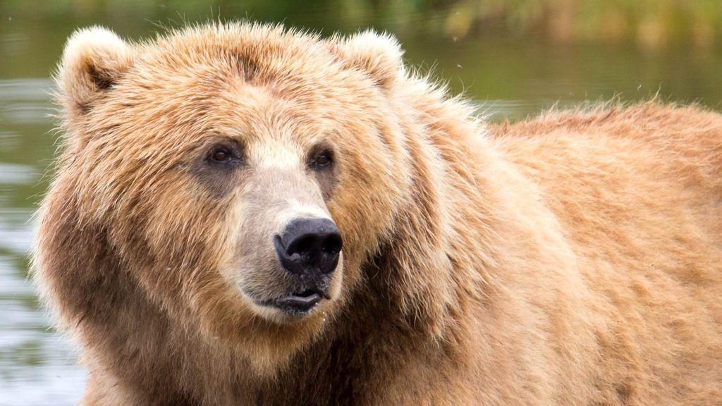 Un oso mata a un niño de 6 años delante de su hermana melliza