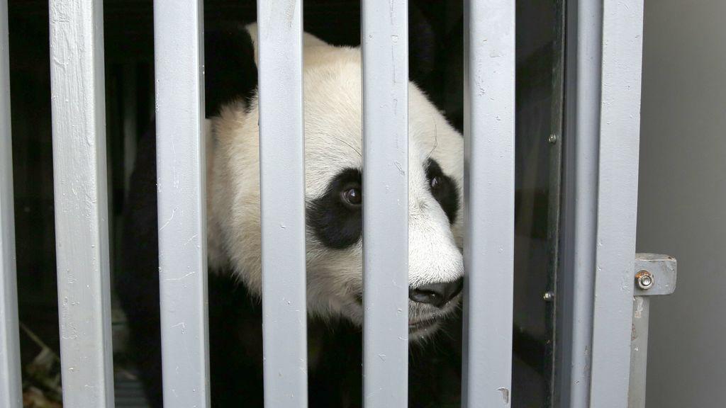 Zoológico indonesio recibe a dos pandas gigantes chinos