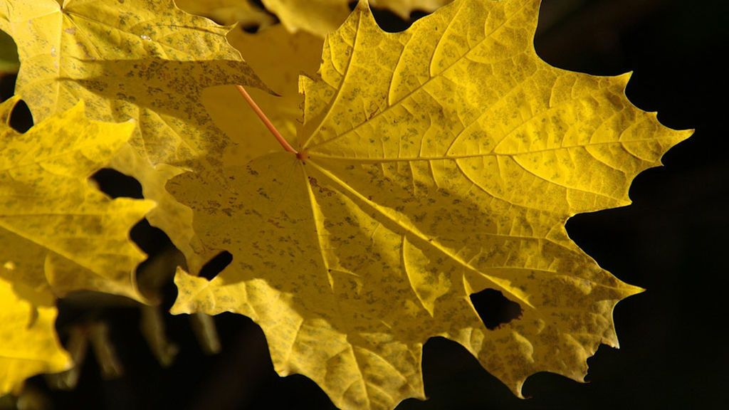 No es solo el otoño: la razón 'meteo' que hace que se caigan las hojas de los árboles