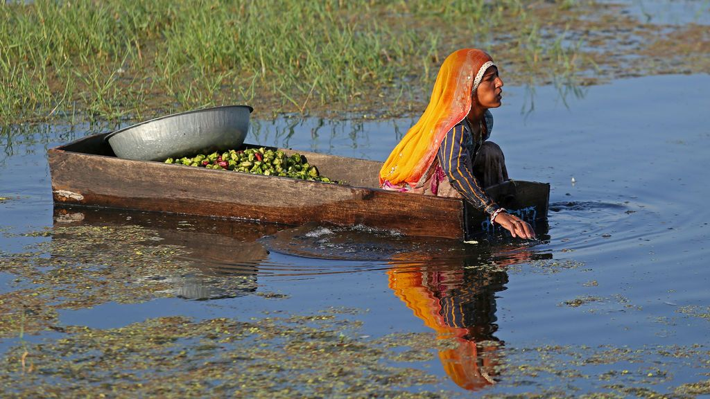 Una mujer recolecta castañas de agua