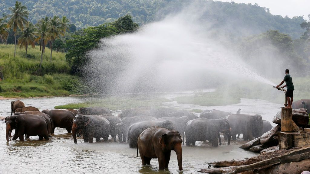 Un mahout dispersa agua sobre un grupo de elefantes en el río Pinnawal