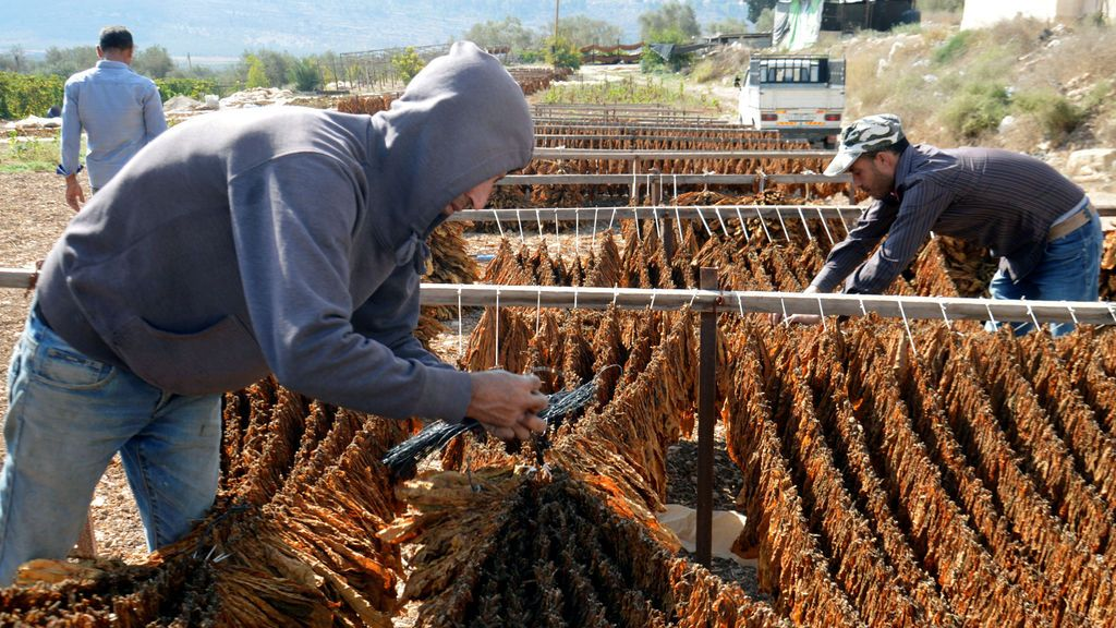 Los trabajadores palestinos revisan el tabaco seco para fabricar cigarrillos locales