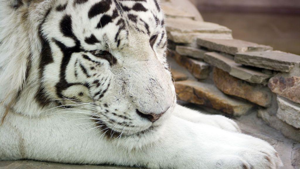 Dos cachorros de tigre blanco matan a uno de sus cuidadores en India