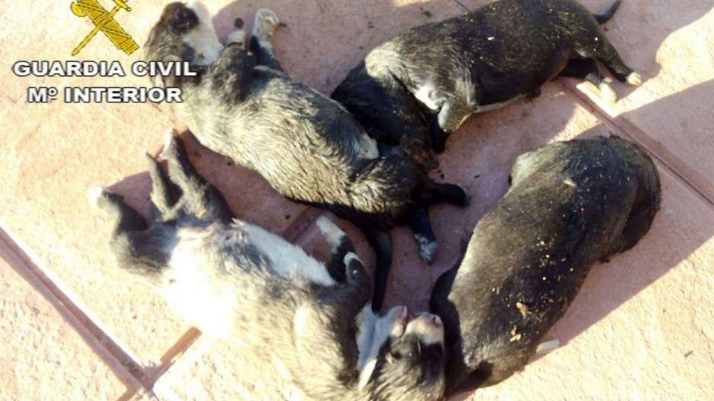 La Guardia Civil salva la vida de siete cachorros de mastines abandonados en un saco