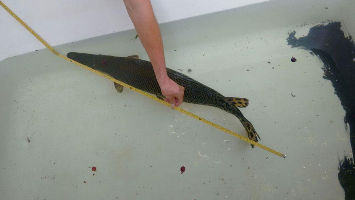 Rescatan a un pez cocodrilo en el Parque de la Represa de Marbella