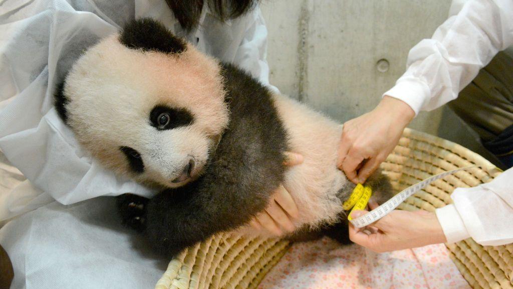 Un cachorro de panda llamado Xiang Xiang, nacido en Tokio