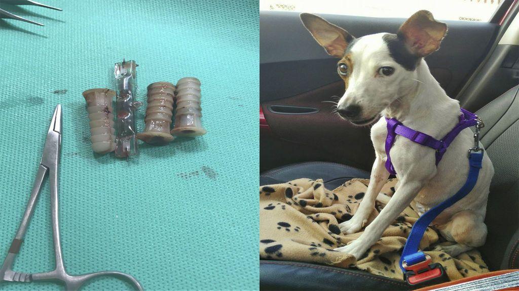 Logran salvar la vida de una perra a la que le habían introducido varios objetos en la vagina