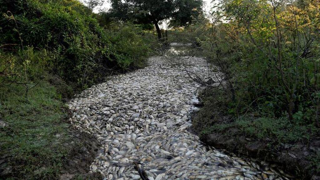 Un río desbordado por peces muertos
