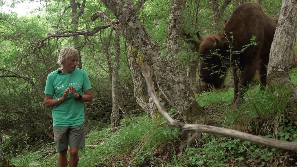 ¡Qué cornamenta! Un búfalo enorme y varios bisontes hacen pasar mucho miedo a Calleja