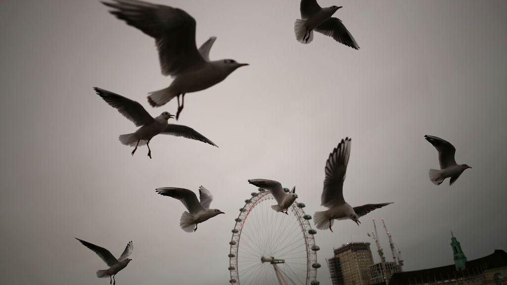 Gaviotas sobrevuelan el puente de Westminster, en Londres